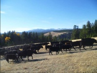 herding-cattle-guest-ranch-wyoming